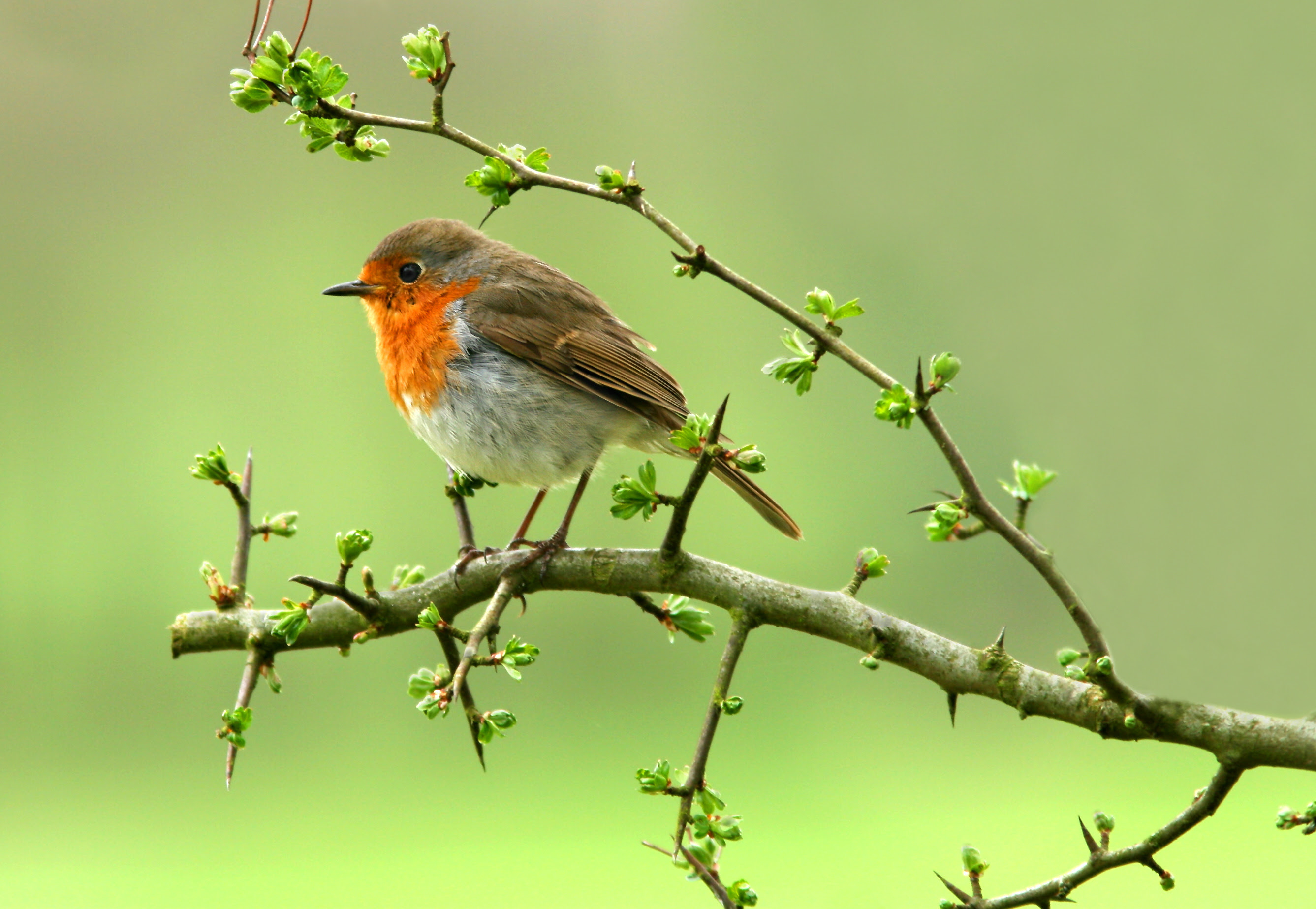A robin sitting on a branch of a hawthorn tree.
